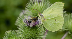 Le papillon citron  Gonepteryx rhamni (TAHARFR) Tags: butterfly papillon lepidopters bokehlicious