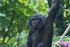 2016-07-07-0150 (BZD1) Tags: bonobo animal synapsida mammal prim haplorhini hominidae hominini pan nature koelnerzoo panpaniscus