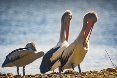 pelican (william672) Tags: pelican bird wildlife animal sigma 600mm f8