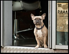 Barber's Bouncer (zweiblumen) Tags: dog barbershop oxfordroad manchester greatermanchester england uk canoneos50d canon70300mm zweiblumen whitworthstreetwest photoshopcs4