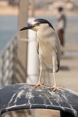 Black-crowned Night Heron (Nycticorax nycticorax) (ekroc101) Tags: california birds sandiego shelterisland blackcrownednightheron nycticoraxnycticorax