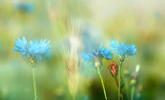 cornflowers (augustynbatko) Tags: flowers blue summer macro nature july rye ear cornflowers