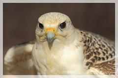 Portrait - Faucon - Falcon (R. Bartho) Tags: extrieur animal oiseau rapace oiseaudeproie faucon portrait closeup canon eos7dmkii ef70200f28lisiiusm