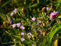 2016_07_23_Summer_flowers_at_the_Ume_River__1030457_edited (Th-K) Tags: umea sweden ume sverige vsterbotten vasterbotten ume river lv summer sommar juli july 2016 flower blomma blklocka harebell campanularotundifolia