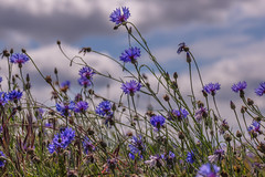 Corn Flowers (microwyred) Tags: meadow wildflowers abstracts cornflower blueskys