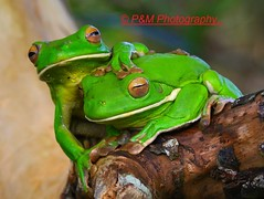White lip tree frog (Litoria infrafrenata) (paulberridge) Tags: white lip tree frog litoria infrafrenata amphibians animal green nature wildlife cairns queensland australia rain forest tropical tropics