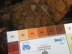 20150702--IMG_1088.jpg (r.mcminds) Tags: xvii cyphastrea scleractinian metazoan needsspeciesid pacificocean australia cyp1 cnidaria oldsettlementbay robust anthozoan indopacific cyphastreasp photobyjoepollock lordhoweisland taxonomyuncertain hexacorallian idbyjoepollock animal cnidarian hardcoral merulinidae stonycoral