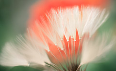 Dandelion Brushes (Charles Opper) Tags: light plant abstract flower color macro nature canon spring dandelion taraxacum