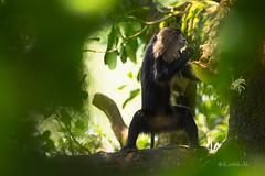 Lion-Tailed Macaque   Macaca silenus (AkDExplorer) Tags: wildlife wild westernghats india tamilnadu naturalhistory primate ltm liontailed macaque valparai monsoon jackfruit explorer