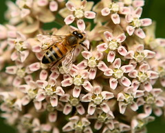 Bee on Milkweed (Lana Gramlich) Tags: bee honeybee milkweed flowers flora floral insect lana gramlich ohio cuyahoga valley nationalpark np lanagramlich canoneos5d jun292016 summer apis asclepias