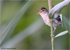 Marsh Wren, Birds of John Heinz Wildlife Refuge (alan jackman) Tags: marsh wren alanjackman jackmanonjazz nikon nikkor d7000 55300mm john heinz wildlife refuge bird