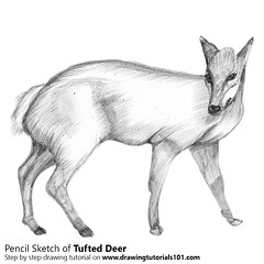 Draw a Tufted Deer with Pencils Total Time: 2 hours Pencils: HB, 2B, 4B (drawingtutorials101.com) Tags: tufted deer deers animals elaphodus cephalophus wings sketching pencil drawings sketches draw sket speed drawing
