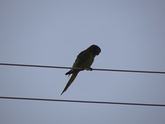 DSC05126 (familiapratta) Tags: sony dschx100v hx100v iso100 natureza pssaro pssaros aves nature bird birds novaodessa novaodessasp brasil