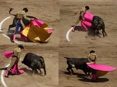Capeando (aficion2012) Tags: ceret 2016 novillada corrida toros bulls bull fight novillos france francia d mario y hros de manuel vinhas abel robles collage torero matador novillero capa capear capeando capeador