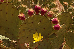 Prickly Pear (F.emme) Tags: flowers blossoms blooms cactus desertplants desert