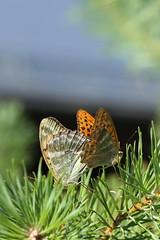 More butterflies on the way (liisatuulia) Tags: porkkala butterfly perhonen keisarinviitta argynnispaphia silverwashedfritillary couple