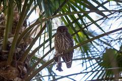 IMG_7828.jpg (M Bee) Tags: animals barkingowl bird