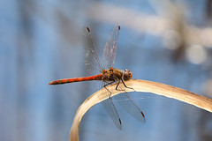 Surfer....... (klythawk) Tags: commondarter sympetrumstriolatum male reed water bokeh sunlight summer nature blue brown beige red yellow black white olympus em1 omd 100400mm panasonic claypitnaturereserve wildlifetrust sssi wilford nottingham klythawk