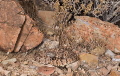 Panamint Rattlesnake (Crotalus stephensi) (Chad M. Lane) Tags: reptiles reptile snake lizard lizards snakes animals wildlife nature outdoor outdoors herps california inyocounty highdesert crotalusstephensi crotalus nikon d810 tamron1530mm tamron90mm fullframe wideangle macro