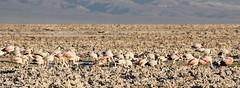 Flamingo Roost (Med Gull) Tags: zegrahm chile peru cruise expedition wildlife southamerica atacama sanpedrodeatacama lakechaxa lake salt saltpan flamingo