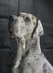 Devon (Darren Cordingley) Tags: greatdane dogchien hund hound mansbestfriend companion trusty nikond800