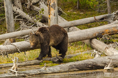 The lineup (ChicagoBob46) Tags: grizz grizzly grizzlybear bear boar yellowstone yellowstonenationalpark nature wildlife