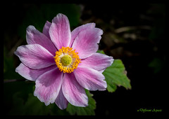 Summer Colours - Japanese Anemone (Different Aspects) Tags: japanese anemone pink flower