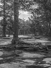 BW in Forest (   (Thank you, my friends, Adam!) Tags:   nikon dslr closeup fine art photography photographer excellent gallery  adamzhang  telephoto       lens   bw forest   ngc