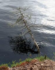 puunrunko (Paivi Hannele) Tags: finland ourfinland landscape luonto kasvi maisema vesi puut thisisfinland joki jrvi syksy autumn