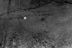 PARCELLE 16-034_17 (gyjishukke) Tags: analog argentique monochrome noiretblanc believeinfilm shootfilm minoltax700 50mm vgtal fleur ilford delta400 800iso selfdevelopment hc110b 10 20 bw