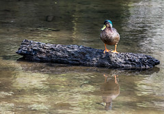 Mallard duck. (Kiwi-Steve) Tags: mallardduck duck reflection log wood nikon nz newzealand nature bird