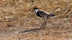 IMG_2820 (trevor.warry@btinternet.com) Tags: kenya lakenakuru lakenakurulodge lapwing