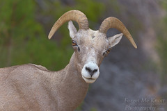 Looking At Ewe (Forget Me Knott Photography) Tags: brianknott fmkphoto forgetmeknottphotography ewe female bighornsheep bighorn sheep zion nationalpark utah desert wildlife horns closeup looking