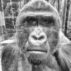 Jelani (sniggie) Tags: zoologicalgarden kentucky louisvillezoo gorilla