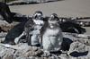Juveniles...Not looking their best! (Ali Bentley) Tags: africa southafrica penguin sa africanpenguin spheniscusdemersus jackasspenguin wildpenguin
