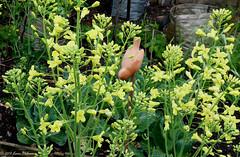 Brassicas in flower (karenblakeman) Tags: uk flowers vegetables yellow garden april caversham brassicas cavershamgarden cf15 challengefriday