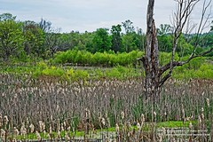 TVA Wetland - KI-W1 (Paul's Captures (paul-mashburn.artistwebsites.com)) Tags: birds geese goose cattails swamp wetland redwingedblackbird coots typha kingstonsteamplant kingstonfossilfuelplant tvasteamplant