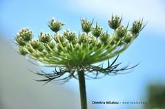 Remember... (dimitra_milaiou) Tags: nature sky blue green spring greece europe andros island nikon d90 milaiou dimitra life live love smile close up macro moment weather photography greek flower ελλαδα μηλαιου δημητρα φωτογραφια 2015 μηλαίου δήμητρα queen annes lace wild carrot plant blossom pastel