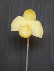 Paph Wossner Diamant (cieneguitan) Tags: orchid flora lan bunga hybrid orkid okid angrek anggerek