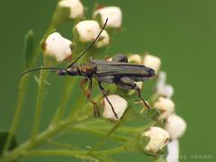 Oedemera flavipes (Tamás Németh) Tags: macro finepix fujifilm coleoptera flavipes oedemera oedemeridae hs25exr