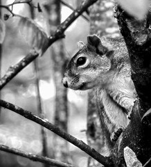 Squirrel-Peek_BW