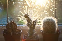 Day Thirty Three / Year Four. (evilibby) Tags: cactus plant window rain cacti bokeh windowsill project365