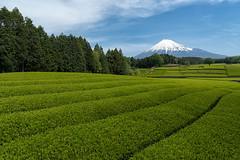 Fields of Green Tea in Japan (Yuga Kurita) Tags: japan landscape spring fuji tea fields fujisan shizuoka fujiyama