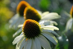 You Don't Always Have to Look Fir to See a Cone or Two! (antonychammond) Tags: flowers light summer garden coneflowers bokeh ngc npc cones flowersarebeautiful awesomeblossoms