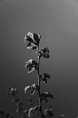 (harry choi) Tags: blackandwhite toronto monochrome spring growth newleaf ricohgrd ricohbw