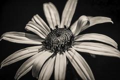 black and white eyed susan