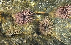 Rock Boring Urchins (Echinometra lucunter), Oahu, Hawaii (Damon Tighe) Tags: pink rock hawaii oahu boring urchin urchins tidepools echinoderms echinometra lucunter