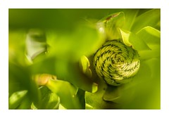 Leucadendron Love (red stilletto) Tags: greatoceanroad greatoceanroadvictoria thegreatoceanroad thegreatoceanroadvictoria autumn coast plant bud leucadendron apollobay flowerbud