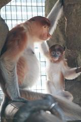 Parent and child /  (yanoks48) Tags: monkey  longnosedmonkey  animal  zoo  zoorasia  yokohama  kanagawa  japan