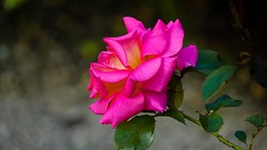 La beaut d'une rose. (Yasmine Hens) Tags: flower nature fleur rose europa flickr belgium ngc blum namur hens bloem yasmine wallonie world100f iamflickr flickrunitedaward hensyasmine